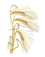 Bouquet, frame with yellow ears of dried wheat, whole grains oats or barley. Watercolor hand drawn painting illustration isolated on a white background.