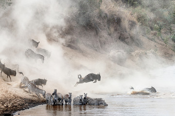 Obraz Wildebeest and Zebra Mara River Crossing - fototapety do salonu