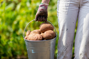 Farmers hand with freshly harvested potatoes