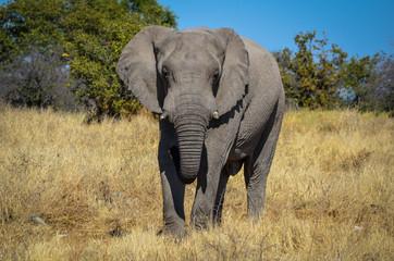 Akrikanischer Elefant