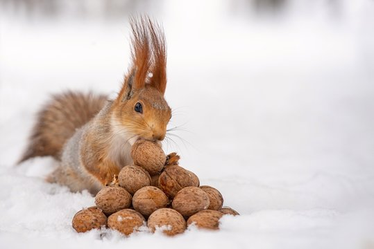 The squirrel stands with nut in paws on the snow in front of a pile of nuts