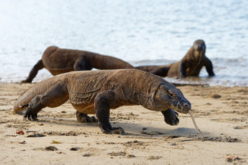 Close-up with three Komodo dragons (Varanus komodoensis) on the beach, the front animal is defining image and is in motion - Location: Indonesia, Komodo