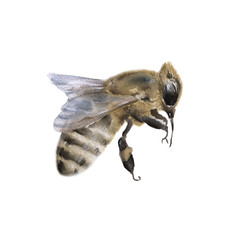 Bee. Isolated on white background. Watercolor illustratio