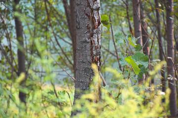 Silent aspen forest