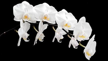Fototapeta biały storczyk na czarnym tle obraz