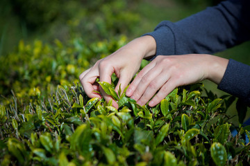 Women's hands collect leaves of green tea plants