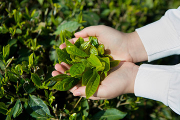 Women's hands holding green tea plant leaves