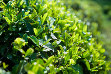 Green leaves of a tea plant