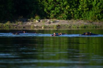 Nilpferd im Chobe River