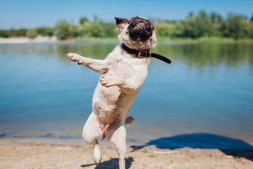Pug dog running and jumping by river. Happy puppy having fun outdoors