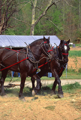 Horses with Plow Harness