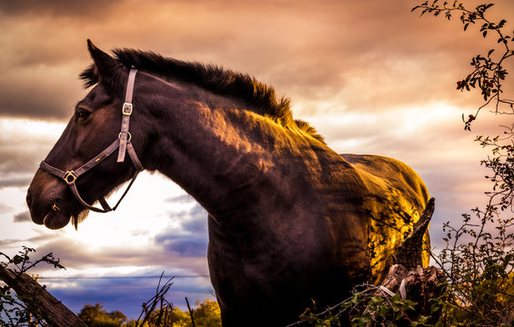Close-up portrait of a horse in the sunset light, in english countryside. Black stallion on summer meadow. Bay horse with beautiful mane.