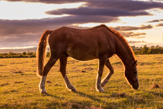 Brown horse grazing on pasture in the sunset light. Bay horse with beautiful mane on english countryside. Bay colt on a green field.