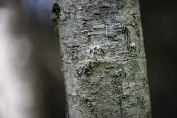Écorce_arbre