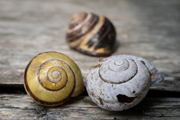 Old shells on a wooden table. Shells of molluscs remaining empty.