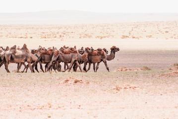 Camels on a sand. Beginning of the Gobi desert