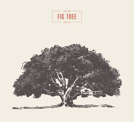 High detail vintage fig tree, hand drawn, vector
