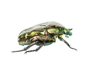 Cetonia Aurata Flower Chafer Green June Beetle Bug Insect Macro Isolated on White Background