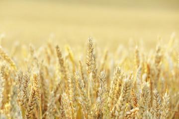 麦畑 Wheat field in Hokkaido Japan