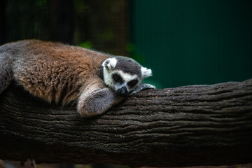 Sleeping Lemer in a zoo