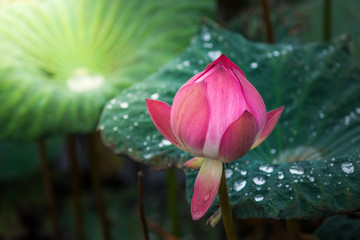 Pink lotus flowers in pond field at natural