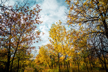 autumn yellow forest and blue sky