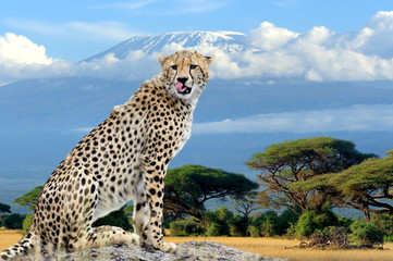 Wild african cheetah on Kilimanjaro mount background