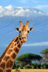 Giraffe on Kilimanjaro mount background in National park of Kenya