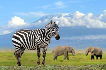 Papiers peints Zebra Zebra on elephant and Kilimanjaro background