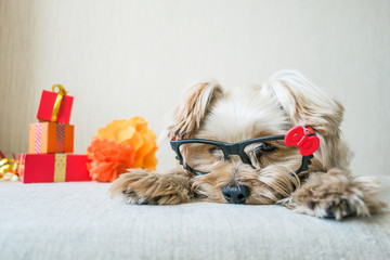 Funny cute Yorkshire Terrier (Yorkie) Dog in carnival glasses lies on table on background of festive garland and decor. Party, after party, fun, holiday background, banner. Copy space