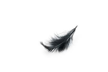 Black bird feather on white background