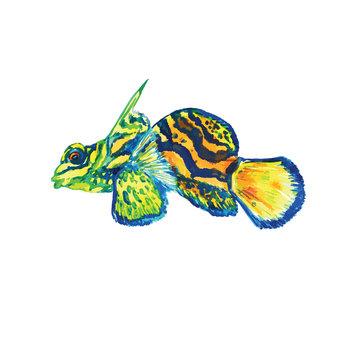 Mandarin fish (Synchiropus splendidus, the mandarinfish or mandarin dragonet), hand painted watercolor vector illustration