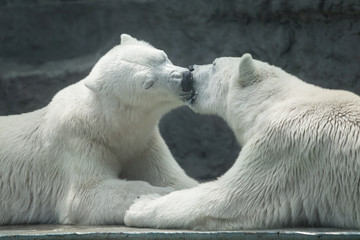 two polar polar bears kiss