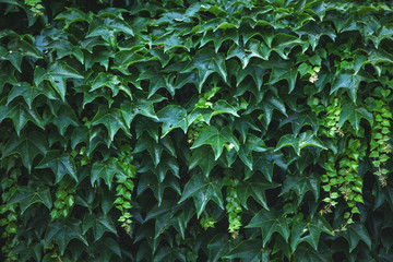 green wall of the leaves of the plant.