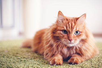 Spoed Fotobehang Kat Portrait of a funny beautiful red fluffy cat with green eyes in the interior, pets