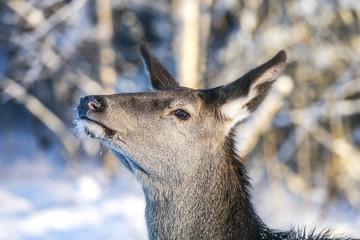 Graceful Adult Female Red Deer. European Wildlife Landscape With Deer Cervus Elaphus . Portrait Of Lonely Deer Cervidae At Aspen Forest Background. Deer In The Natural Habitat