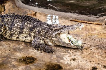 Money eating alligator
