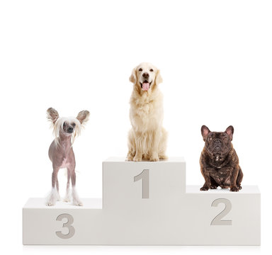 Three dogs on a winner's podium