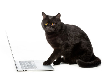 adorable black british shorthair cat using laptop isolated on white background