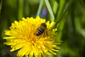 Bee collects nectaring on yellow dandelion flower