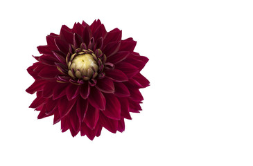 Dark red dahlia flower. Dark red dahlia flower isolated on a white background.