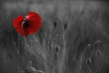 Fotorollo Mohn Poppy flower or papaver rhoeas poppy with the light behind in Italy remembering 1918, the Flanders Fields poem by John McCrae and 1944, The Red Poppies on Monte Cassino song by Feliks Konarski