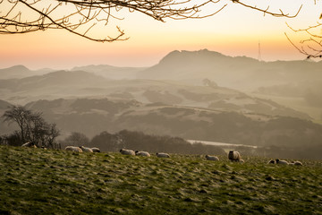 Sheep grazing on a hillside in Fife, Scotland Fototapete