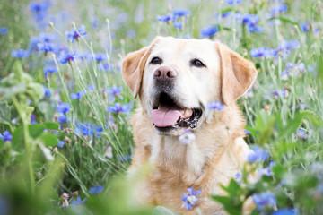 Labrador in Blumenwiese