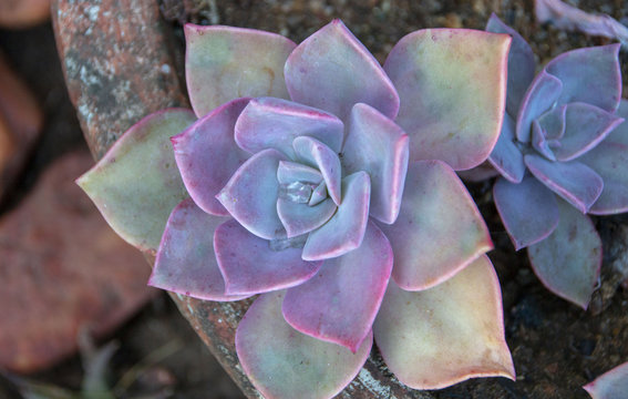 A Rock Rose Flower