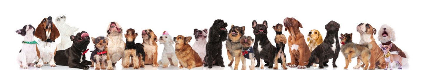 large team of dogs with bowties and collars looking up