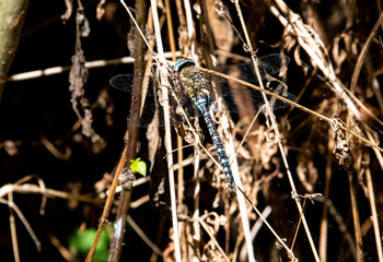 A Common Hawker Dragonfly