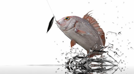 Pargus Red Snaper jumping for jig bait lure white background 3d render