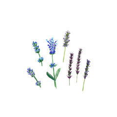 Lavender flowers in a watercolor and pencil drawing style isolated, watercolor botanical illustration on white.