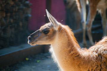 Brown and White Llama. Close up photograph of a brown and white llama's head. Lama glama. A nice portrait of a llama.